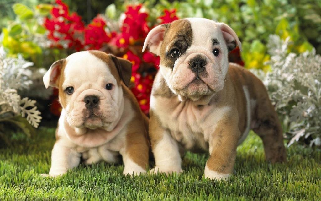 Puppy-Dog-HD-Wallpaper-Humsms-3
