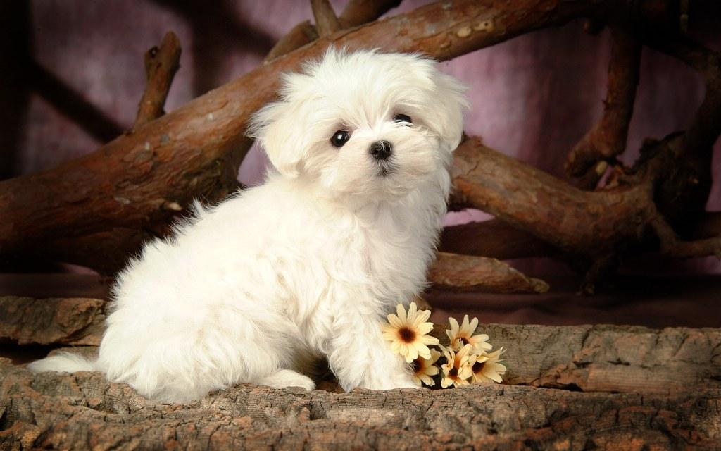 cute-white-puppy-hd-wallpaper