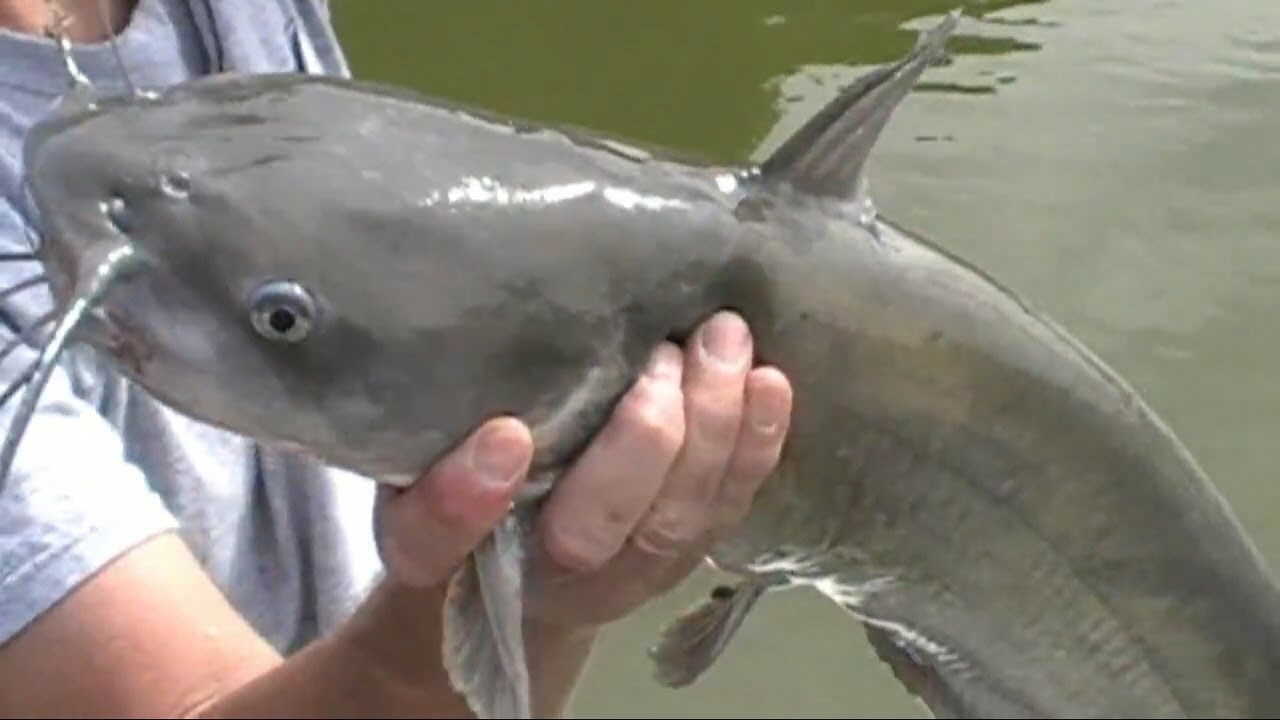 Photo of How to Catch a Huge Monster Catfish