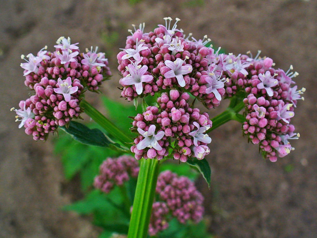 Photo of Valerian Benefits: Sleep and Positive Effects on Your Health