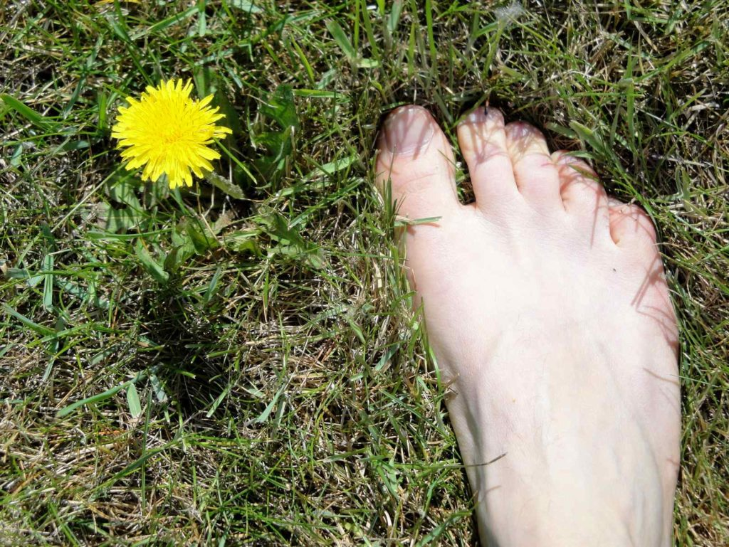 dandelion amazing benefits health